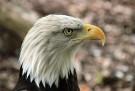 Adler Beizjagd