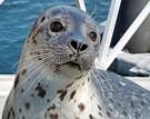 Mit Robben schwimmen