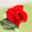gravierte Rose die nie verblüht